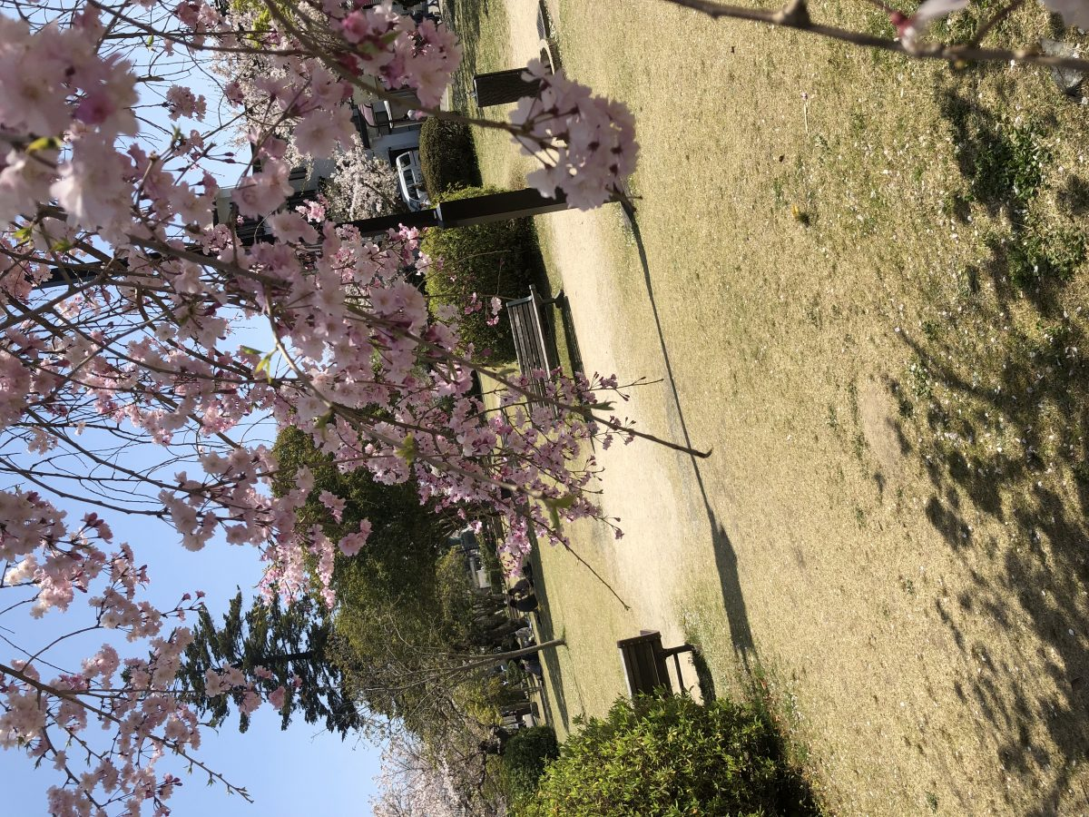山口県岩国市錦帯橋のお花見の魅力